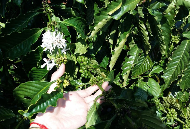 Cà phê ở giai đoạn ra hoa và đậu quả. Ảnh: Vietnammoi.