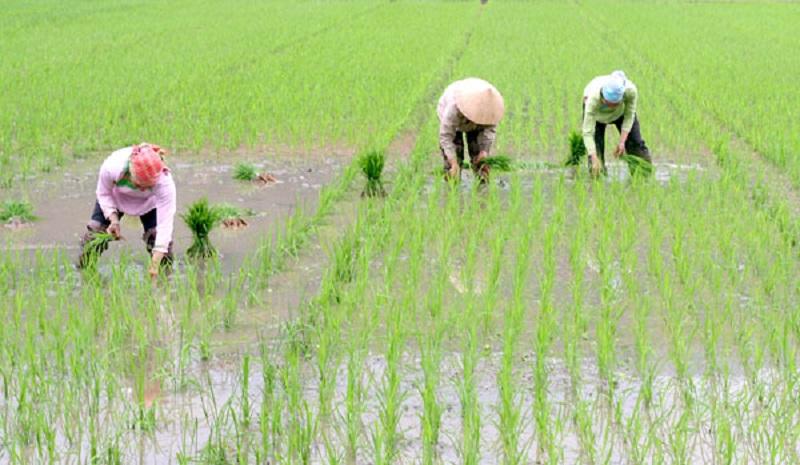 Nông dân đang cấy lúa. Ảnh: Nông thôn Việt.