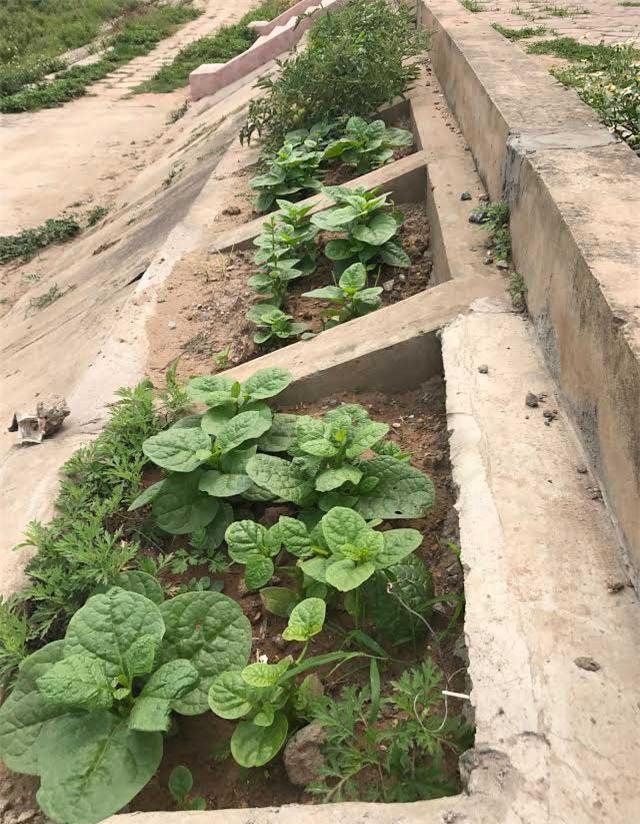 trồng rau sạch, rau sạch, thực phẩm sạch, kiểu trồng rau độc lạ
