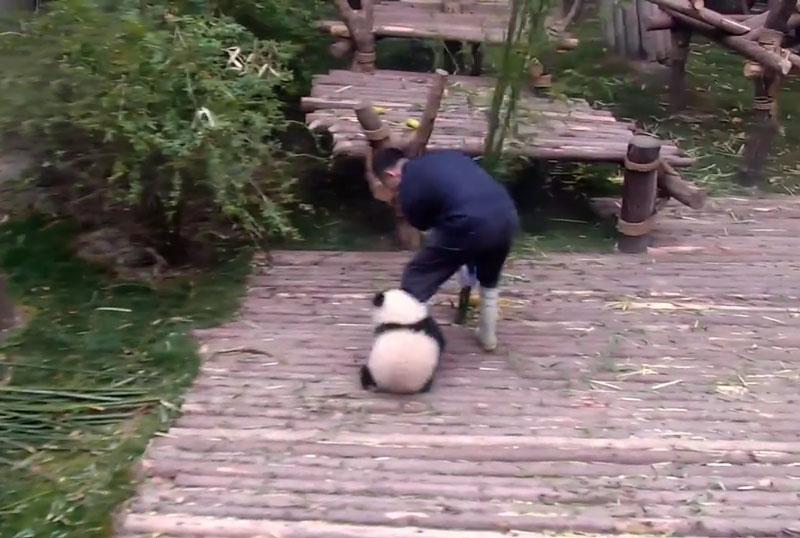 Gấu trúc con ôm chân nhân viên vườn thú làm nũng.