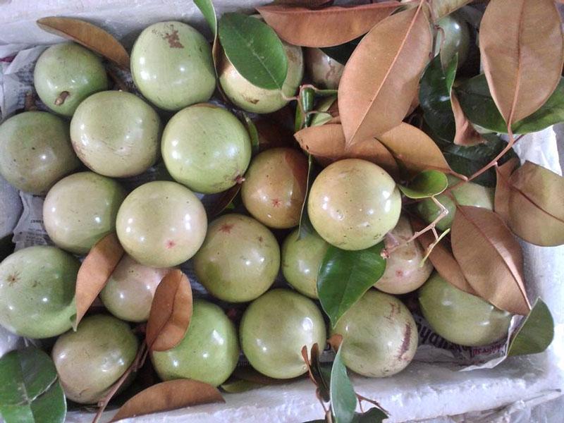 1. Vú sữa lò rèn Vĩnh Kim. Loại vú sữa được trồng tại huyện Châu Thành, tỉnh Tiền Giang. Đây là cây ăn trái đặc sản nổi tiếng có vùng trồng chuyên canh lớn nhất nước, được người tiêu dùng trong và ngoài nước ưa chuộng. Ảnh: Lamthenao.