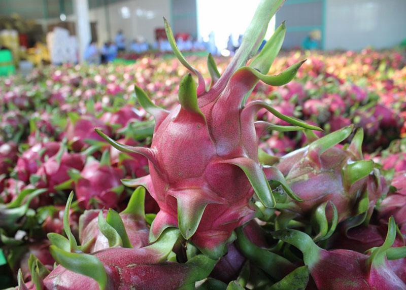 6. Thanh long Bình Thuận. Thanh long là loại cây được trồng ở khá nhiều nơi trên đất nước Việt Nam. Tuy nhiên, khi được trồng ở tỉnh Bình Thuận, loại quả này có vị ngọt và ngon hơn những vùng khác. Ảnh: HTX thanh long Bình Thuận.