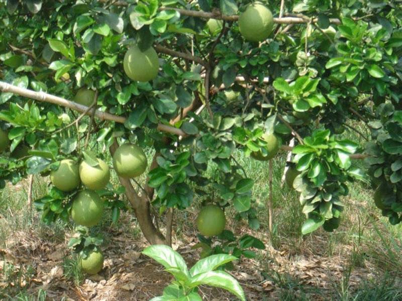 Bưởi Năm Roi cho chất lượng tốt nhờ đất chứa nhiều chất dinh dưỡng thiết yếu. Ảnh: Mocay.