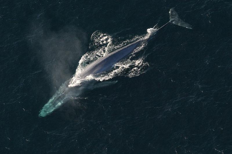 1. Cá voi xanh - chiều dài: 30m. Là loài cá voi thuộc về phân bộ Mysticeti. Cơ thể cá voi xanh dài và thon, có thể có màu hơi xanh-xám ở mặt lưng và sáng màu hơn ở mặt bụng.