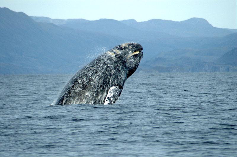 8. Cá voi xám - chiều dài: 15m. Cá voi tấm sừng hàm hàng năm di chuyển giữa khu vực kiếm thức ăn và sinh sản. Cá voi xám là loài còn sống duy nhất trong chi Eschrichtius, chi này lại là chi sống sót duy nhất trong họ Eschrichtiidae.