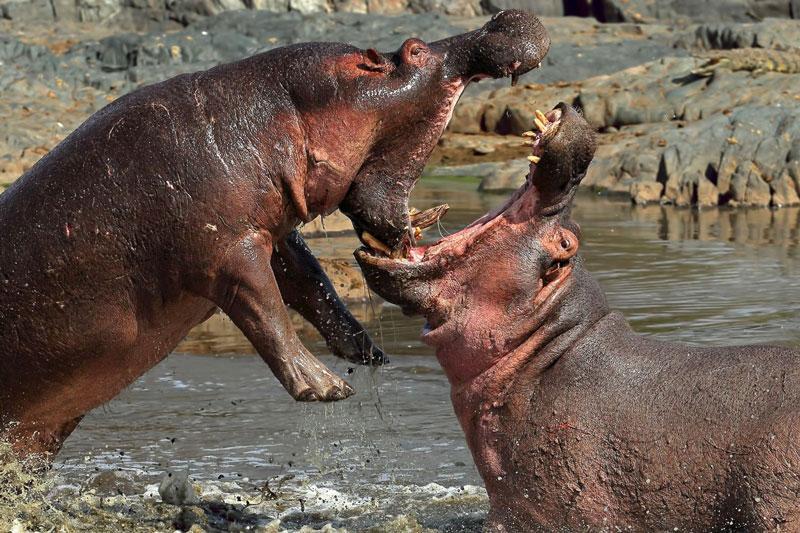 Theo tờ National Geographic, mực nước sông xuống thấp đã khiến bầy hà mã tỏ ra cực kỳ khó chịu. Do đó, có không ít cuộc đại chiến đã nổ ra giữa các con hà mã để cạnh tranh lãnh thổ.