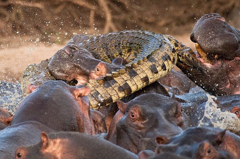 """Trong khi đó, con cá sấu đen đủi này lại """"ngu ngốc"""" tới mức """"dấn thân"""" vào giữa cuộc đại chiến giữa các con hà mã."""