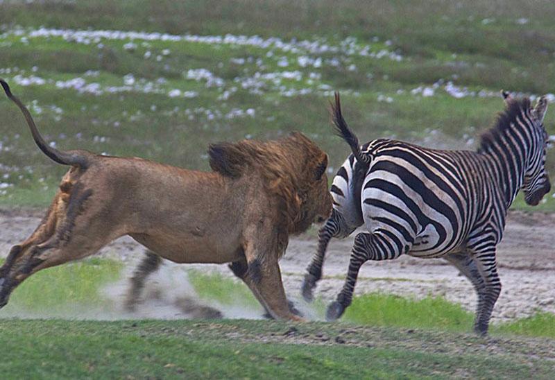 Được biết, cảnh tượng này do các du khách tình cờ ghi lại được khi đang tham quan khu bảo tồn động vật hoang dã Ngorongoro ở Tanzania.
