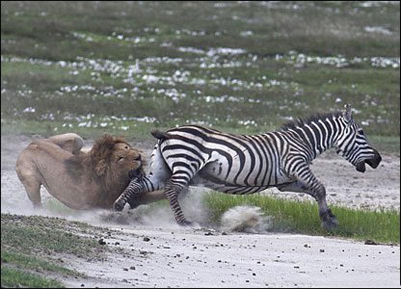 Sau đó, nó liền cố gắng hết sức nhằm cắn chặt vào chân chú ngựa vằn để kết liễu con mồi.