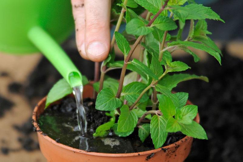 Bạn chỉ cần chậu nhỏ là có thể trồng bạc hà. Ảnh minh họa.