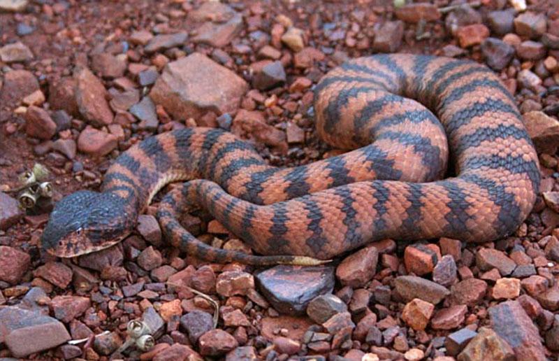 3. Rắn tử thần. Loài rắn độc có nguồn gốc ở Australia. Loài rắn này sẽ ngụy trang và tấn công kẻ thù nếu bị đe dọa.