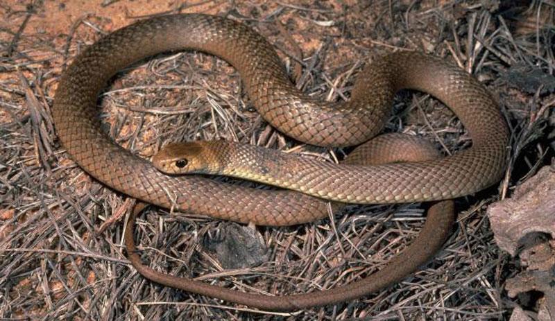 5. Rắn Pseudonaja Textilis. Là loài rắn độc có nguồn gốc ở Australia, Papua New Guine và Indonesia. Loại rắn này có lượng độc cực mạnh, đo được LD50.