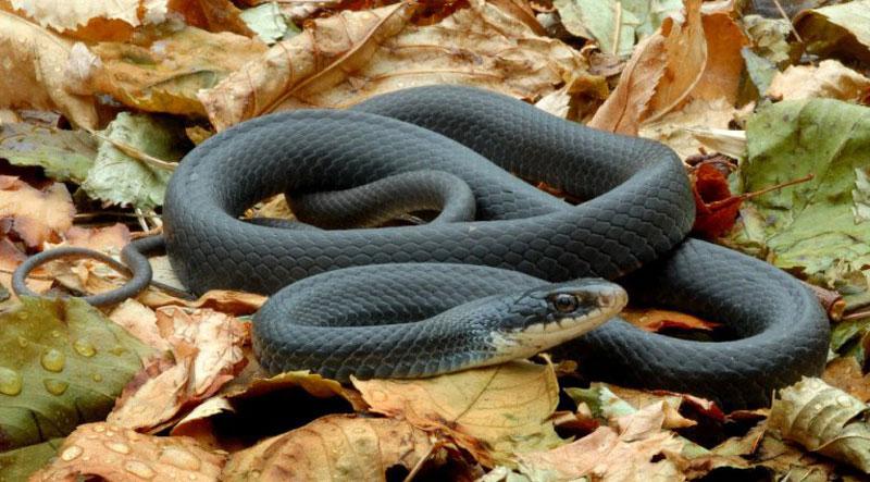 7. Rắn Mamba đen. Là loài rắn độc đặc hữu tại châu Phi, hạ Sahara. Nọc độc của rắn mamba đen chứa độc tính cao, có khả năng gây bất tỉnh ở người trong vòng 45 phút hoặc ít hơn. Nếu không có chất kháng nọc độc hiệu quả để điều trị, tử vong thường xảy ra trong khoảng 7 - 15 giờ.