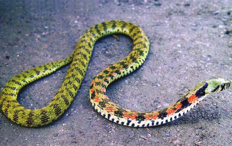 8. Rắn hổ. Là loại rắn độc xuất hiện ở các vùng phía Nam của Australia, bao gồm các hòn đảo ven biển và Tasmania. Đây là loại rắn cực độc nằm trong họ rắn hổ.