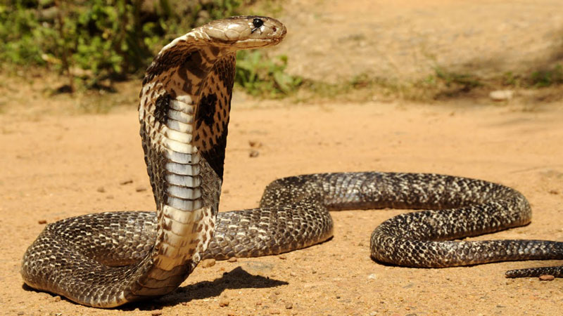 9. Rắn hổ mang Philippines. Là loài rắn phun nọc rất độc nguồn gốc từ khu vực phía Bắc của Philippine. Loài này được Taylor mô tả khoa học đầu tiên năm 1922.