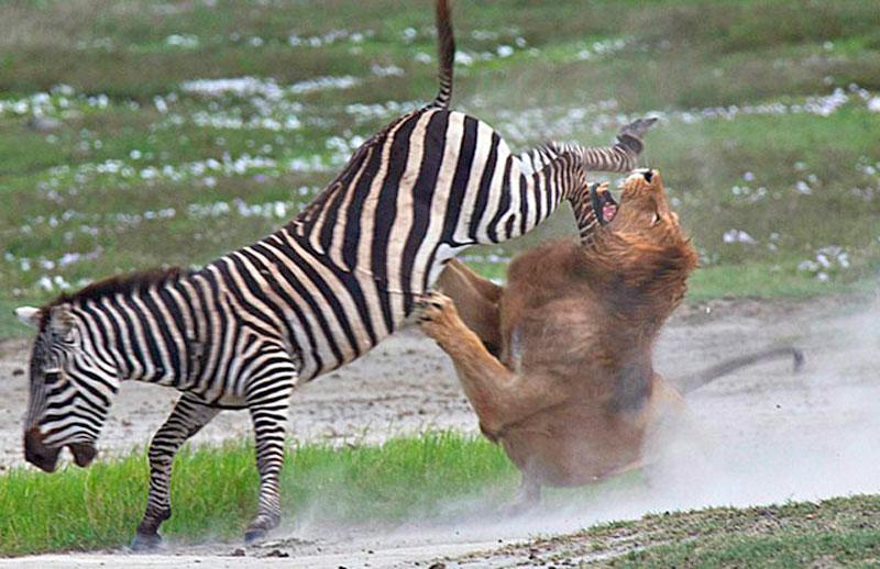 1. Ngựa vằn đá trúng mặt sư tử.