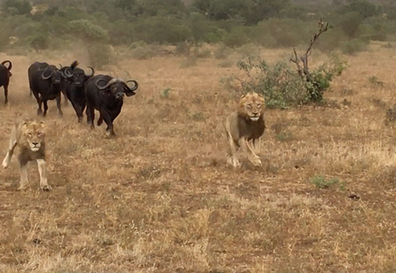 Trâu rừng truy sát sư tử.
