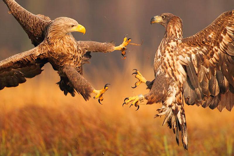 4. Chim cắt đại chiến với chim ưng trên không trung.