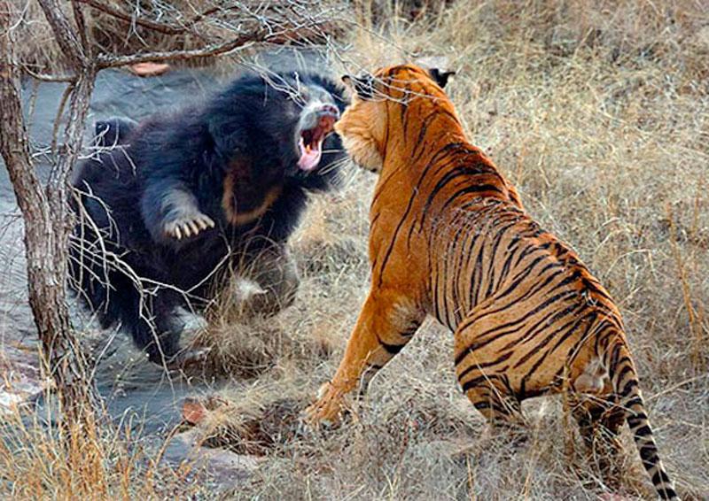 8. Hổ đại chiến với gấu ngựa.