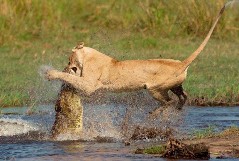 6. Sư tử bị cá sấu cắn vào mặt khi đang uống nước.