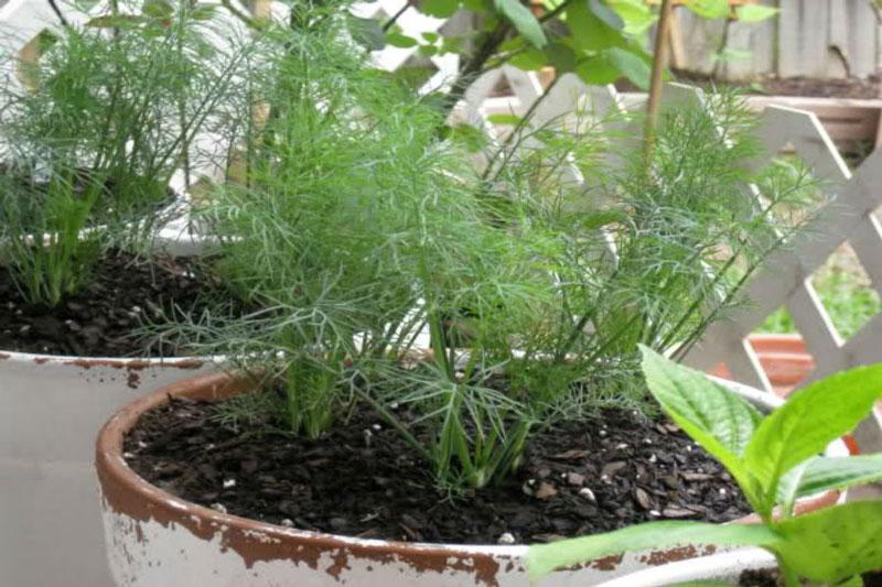 Thì là loại cây rất dễ trồng và không tốn nhiều công chăm bón. Ảnh minh họa.