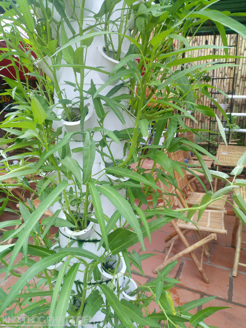 Rau muống được trồng theo phương pháp khí canh.