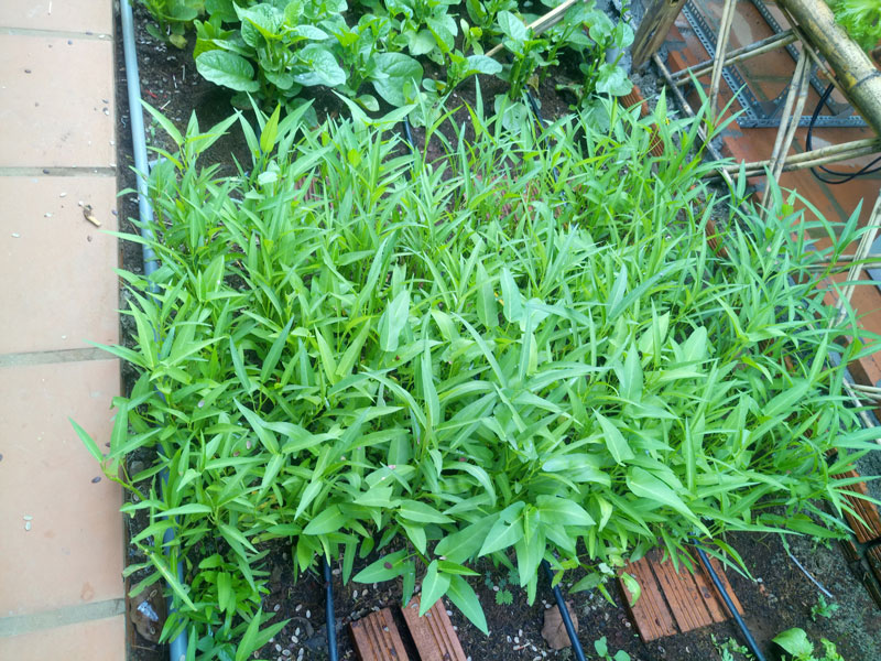 Vườn rau trồng dưới đất và được tưới, bón phân theo phương pháp nhỏ giọt.