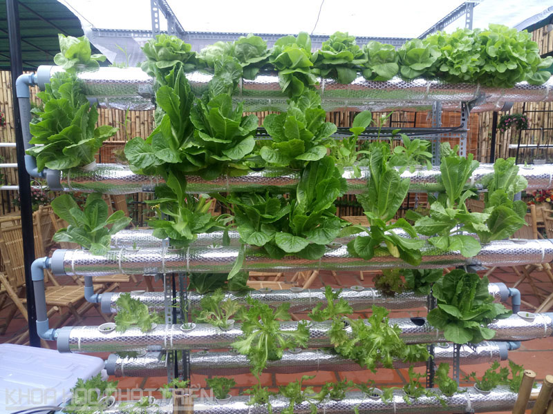 Rau được trồng theo phương pháp thủy canh.