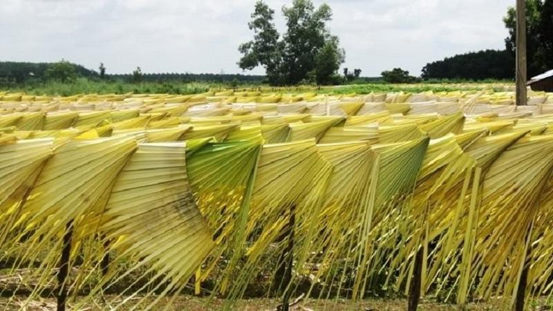 Lá nón nguyên liệu được sử dụng là lá không quá non cũng không quá già.