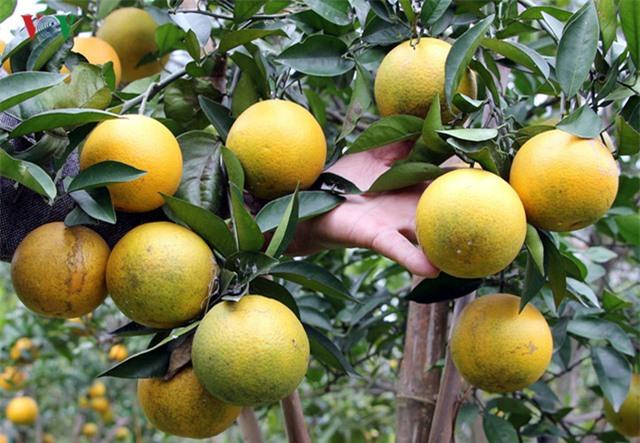 Từ trước đến nay cam Xã Đoài vẫn được người dân quen gọi là cam tiến Vua, vì những người có điều kiện như vua chúa mới ăn được loại cam này.