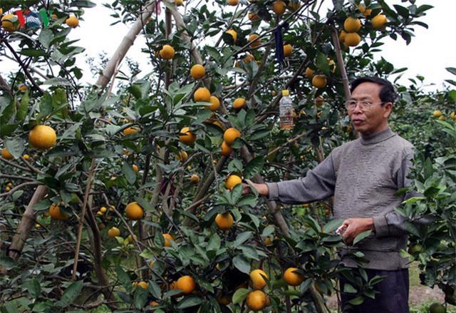 Để tạo niềm tin, người trồng cam thường mời khách hàng về tận vườn để hái. Thường khách đã đến tận vườn để đặt cam từ khi mới ra quả. Vì thế gần sát để mua được loại cam này dù có tiền cũng rất khó để mua.