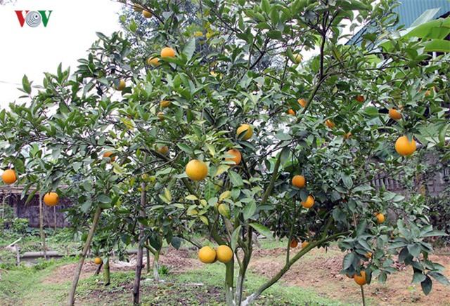Theo người dân địa phương, tuổi đời trung bình của cây cam khoảng 20 - 25 năm, nhưng nếu có kỹ thuật chăm sóc tốt sẽ kéo dài được tuổi thọ của cây lên gấp đôi.
