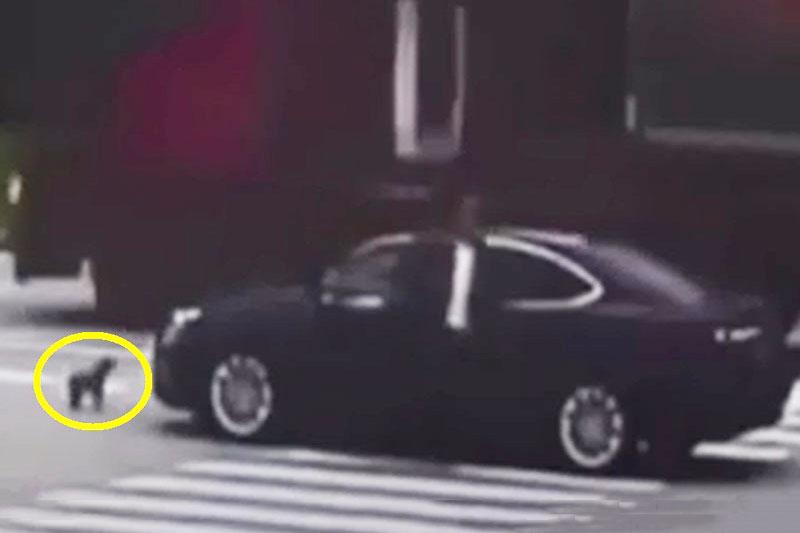 Chú chó chặn đầu chiếc xe hơi gây tai nạn cho cô chủ.