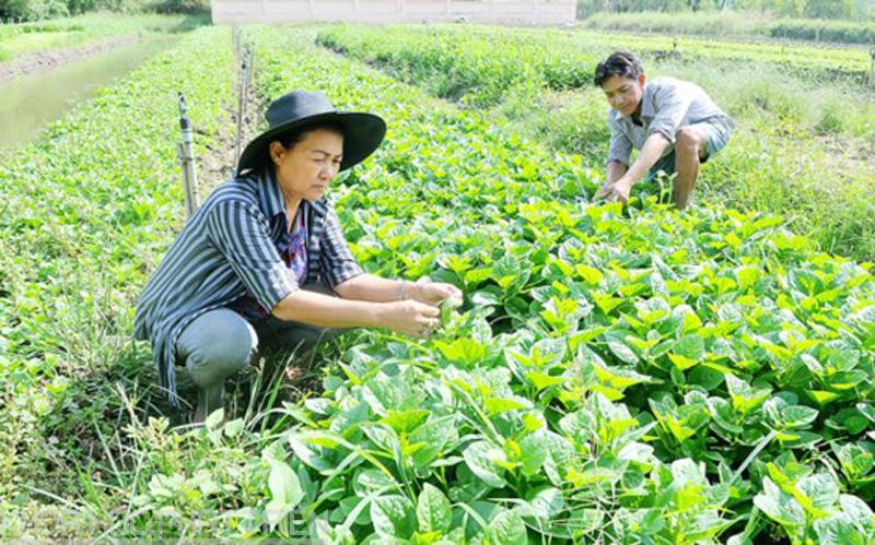 Trồng rau theo tiêu chuẩn VietGAP ở Bình Chánh
