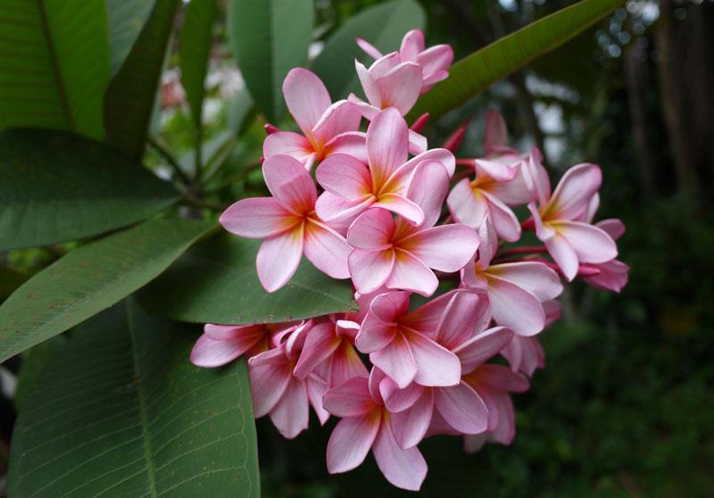 Loài hoa này được trồng rất nhiều nơi ở Việt Nam.