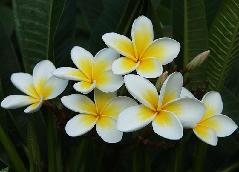 Hoa đại là tên gọi chung của chi đại chứa 7-8 loài cây có nguồn gốc ở khu vực nhiệt đới và cận nhiệt đới châu Mỹ.