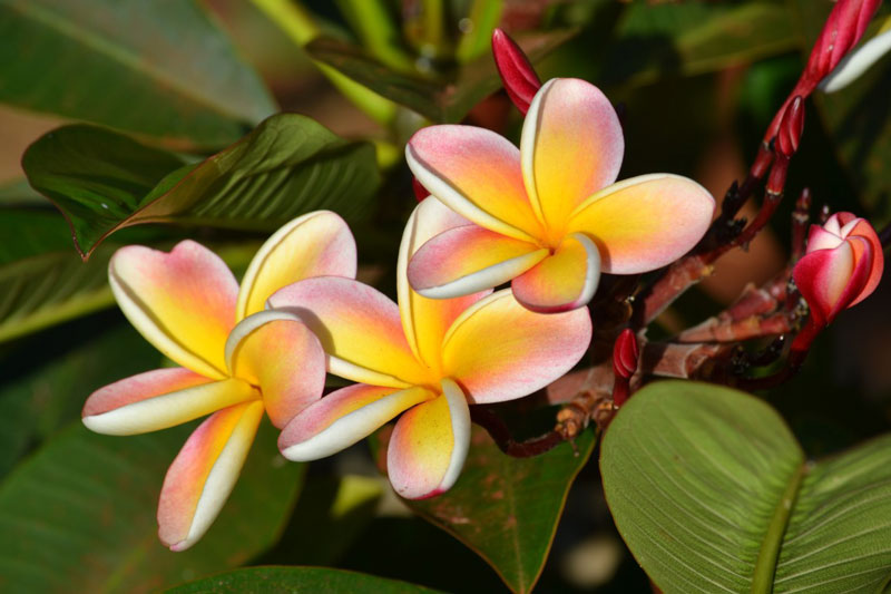Tuy nhiên, loại hoa này lại không có mật.