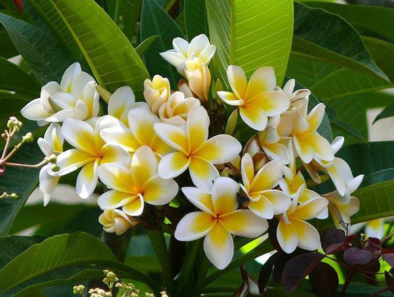 Hoa của cây đại có tác dụng tiêu đờm, trừ ho, thanh nhiệt, trừ thấp, lương huyết…