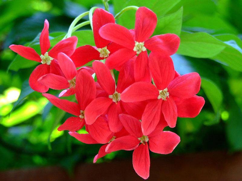Hiện nay, nó được trồng làm cảnh rộng rãi ở Philippines, Ấn Độ, Malaysia, Myanmar, Việt Nam và Thái Lan.