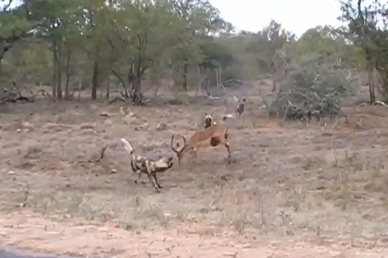 Bị cắn lòi ruột, linh dương Impala vẫn tử chiến với bầy chó hoang. Tuy bị những kẻ săn mồi cắn lòi ruột nhưng con linh dương Impala ở đoạn video dưới đây vẫn gắng lấy hết sức bình sinh để chiến đấu với đối thủ. (CHI TIẾT)