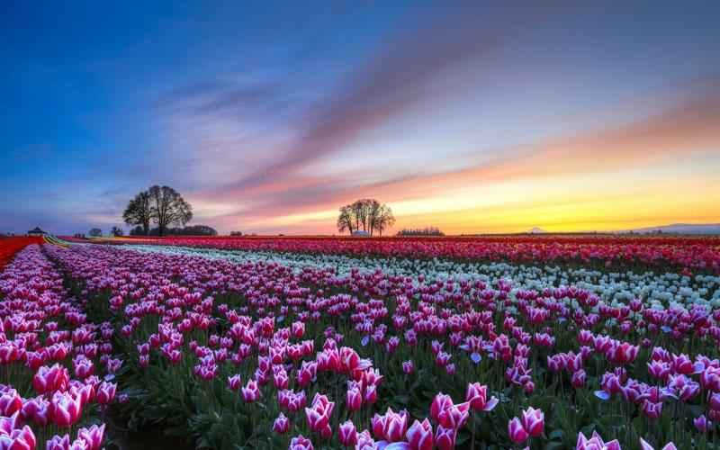 Cánh đồng hoa tulip.