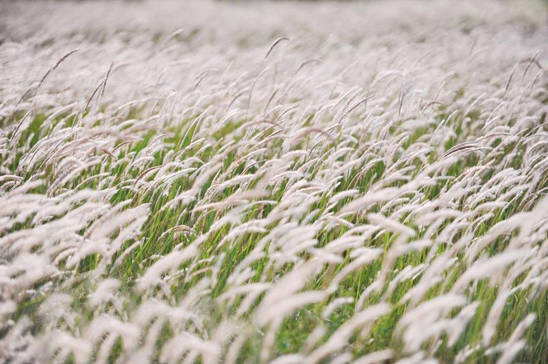 Cánh đồng cỏ lau trắng xóa.