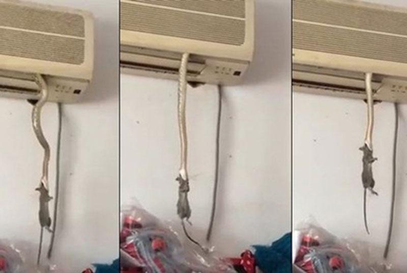 Trăn treo mình từ máy điều hòa để bắt chuột.