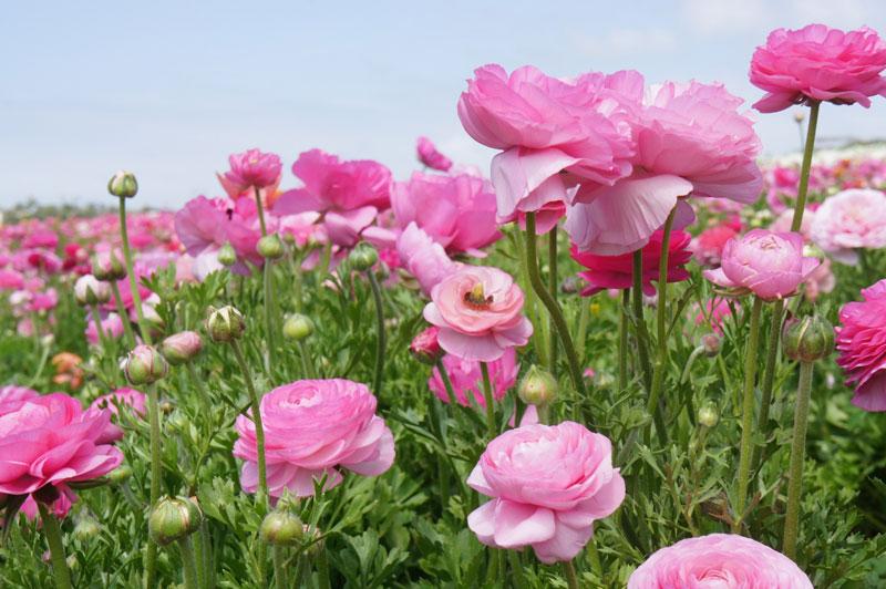 Hoa mao lương khoe sắc hồng.