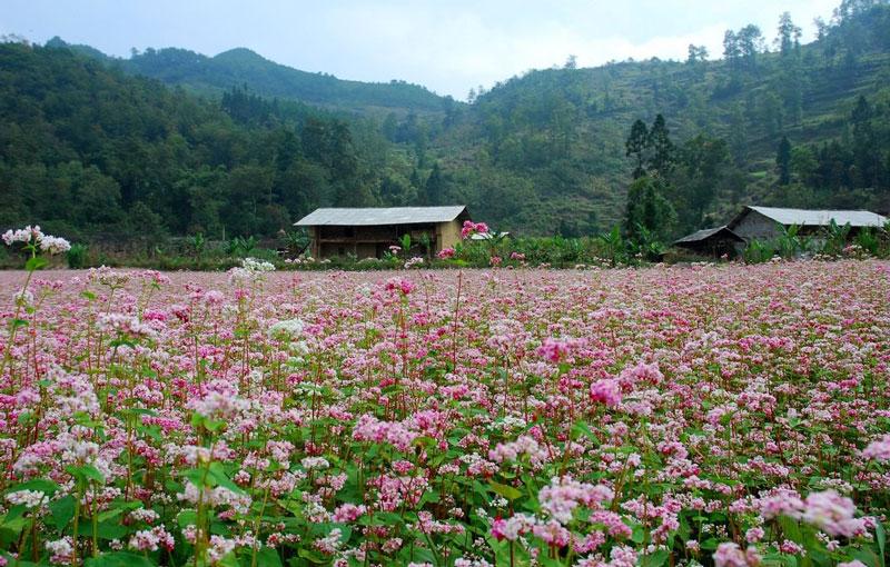 Hoa tam giác mạch là loài hoa phổ biến ở Hà Giang.