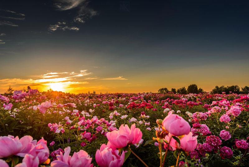 Hoa mẫu đơn, bà chúa của những loại hoa.
