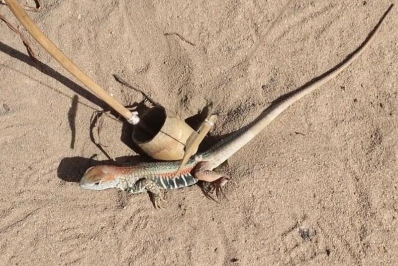 Dông cát bị mắc bẫy.