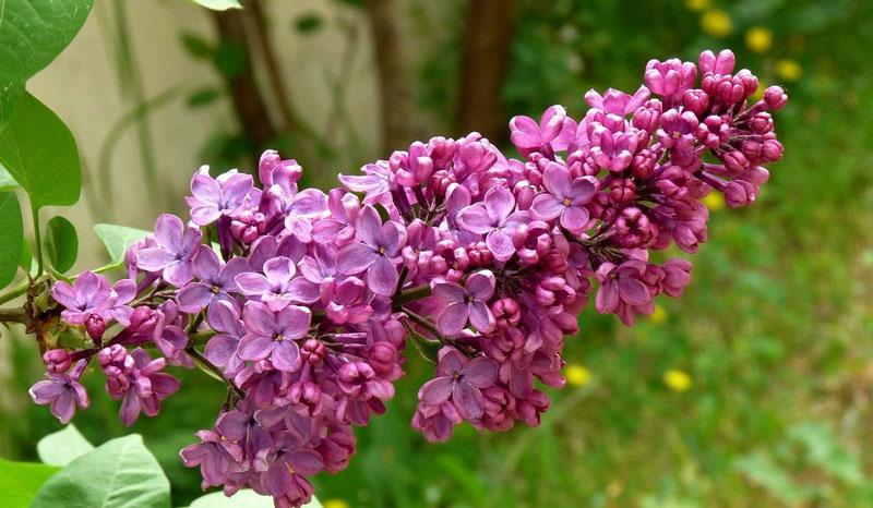 """Màu tía nhạt nói chung được gọi là """"màu tử đinh hương"""" theo tên gọi của màu hoa cây này."""