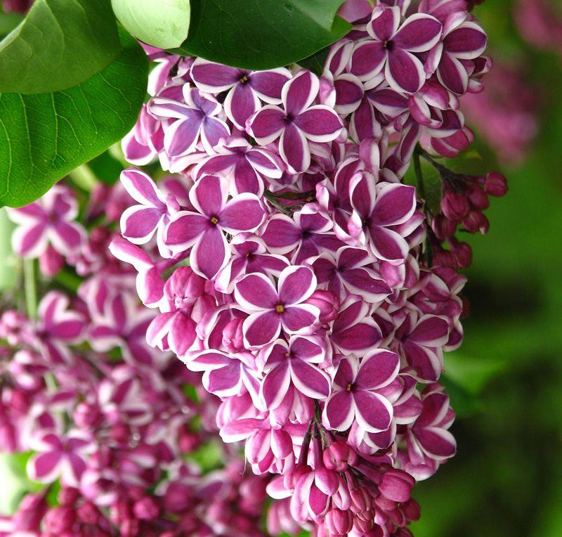 """Tuy nhiên, ngày nay, hoa Tử đinh hương màu tím có ý nghĩa """"xúc cảm đầu tiên của tình yêu"""" vì không có gì vui sướng hơn khi Xuân về cùng với những bông hoa tử đinh hương xuất hiện."""