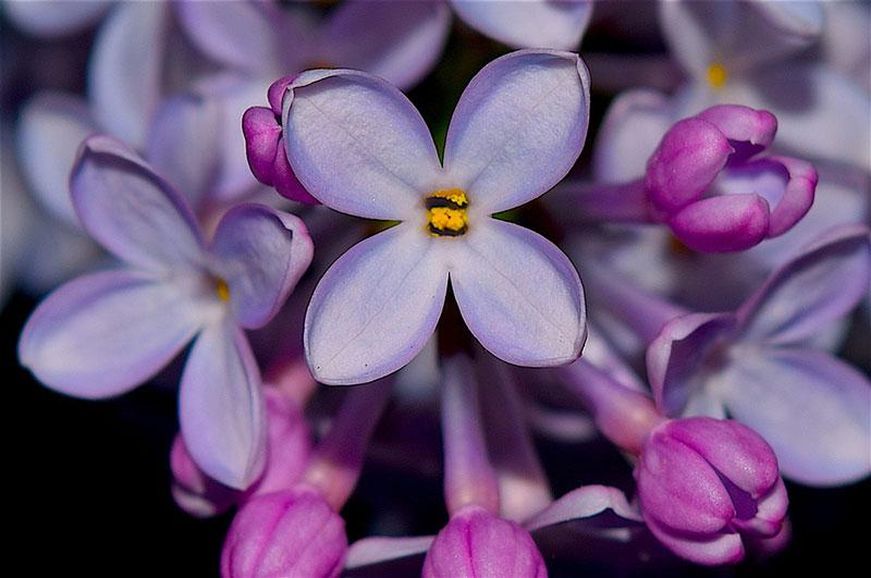 Những bó hoa thơm nở rộ, tử đinh hương tím khó lòng thoát khỏi sự chiêm ngưỡng ca tụng của các nhà thơ và những kẻ yêu nhau. Đối với họ, tử đinh hương tím là biểu hiện của những cảm xúc thú vị, choáng ngợp khi mối tình đầu bộc lộ một cách e lệ và thơ mộng.